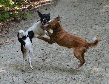 Spielen, toben, Hund sein...auch mit dem Antibellhalsband.