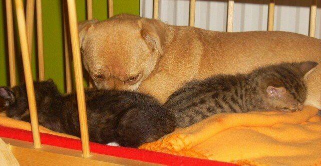Nele sorgte für die Katzenbabys wie für ihre eigenen Jungen.