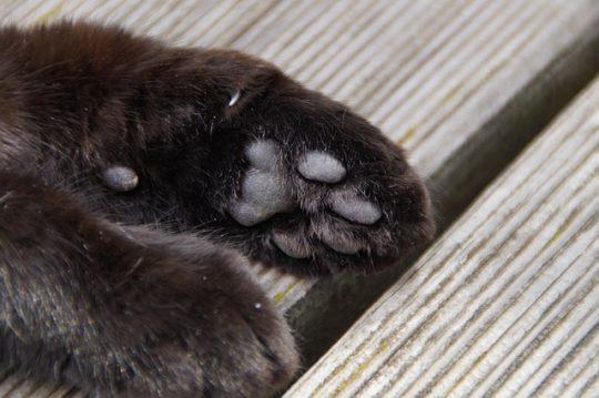Übrigens: auch Katzen habe Wolfskrallen, wie man hier gut sehen kann