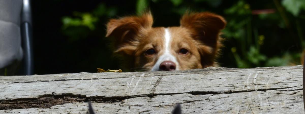Hund hustet – was tun?