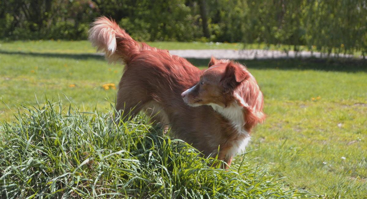 Analdrüsenentzündung Hund