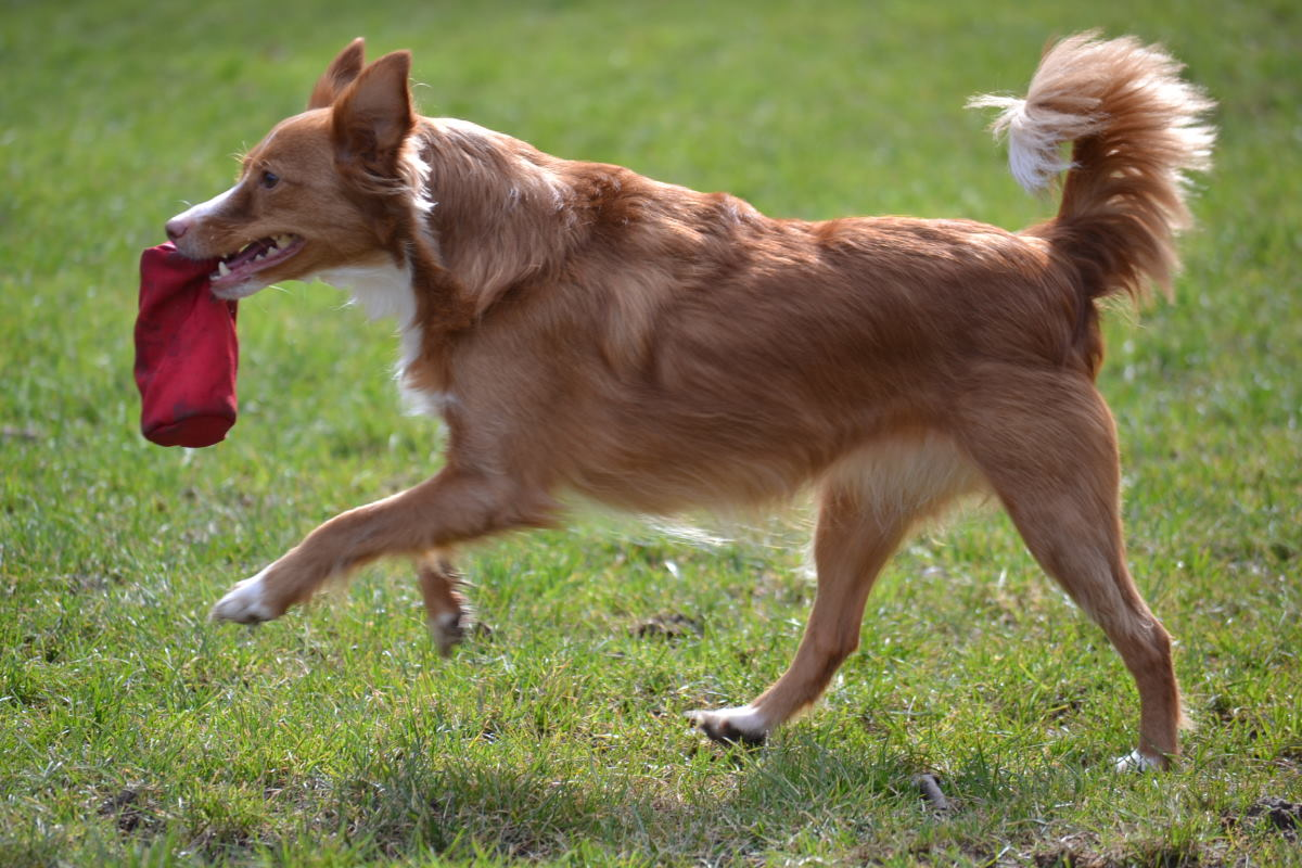 Hund apportieren