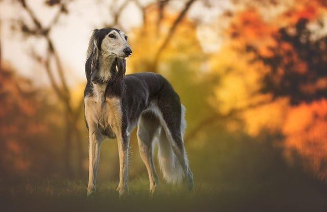 Der Saluki (Windhund)