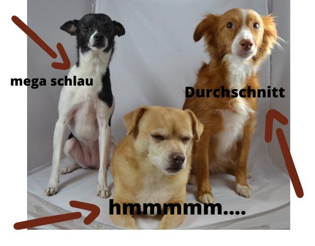 IQ-Test für Hunde