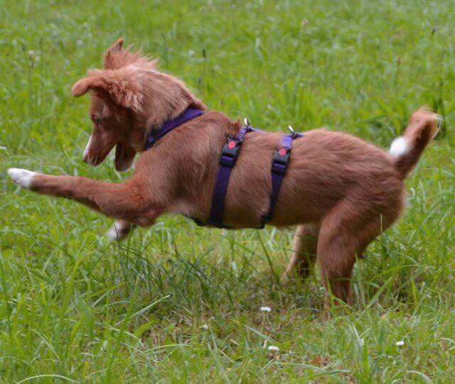 Sodbrennen beim Hund