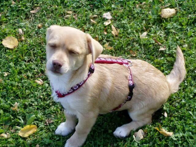 Grünlippmuschel für Hunde