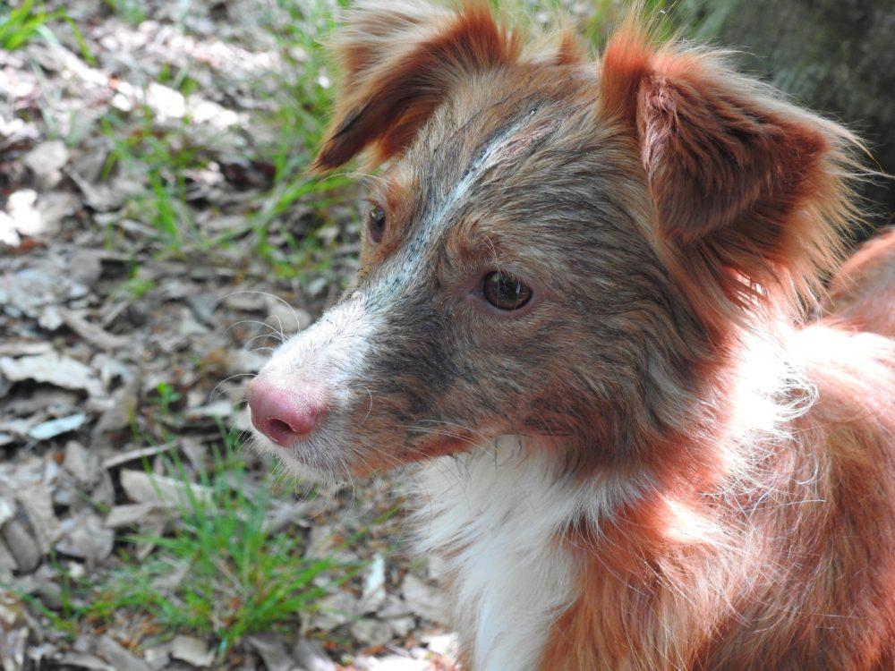 Mischlingshunde vs Rassehunde