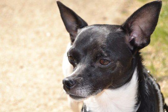 Hund mit Haarausfall