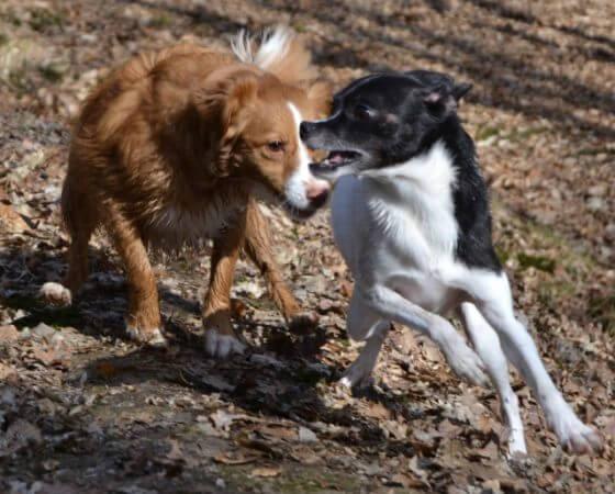 Cesar Millan – genialer Hundepsychologe oder Tierquäler?