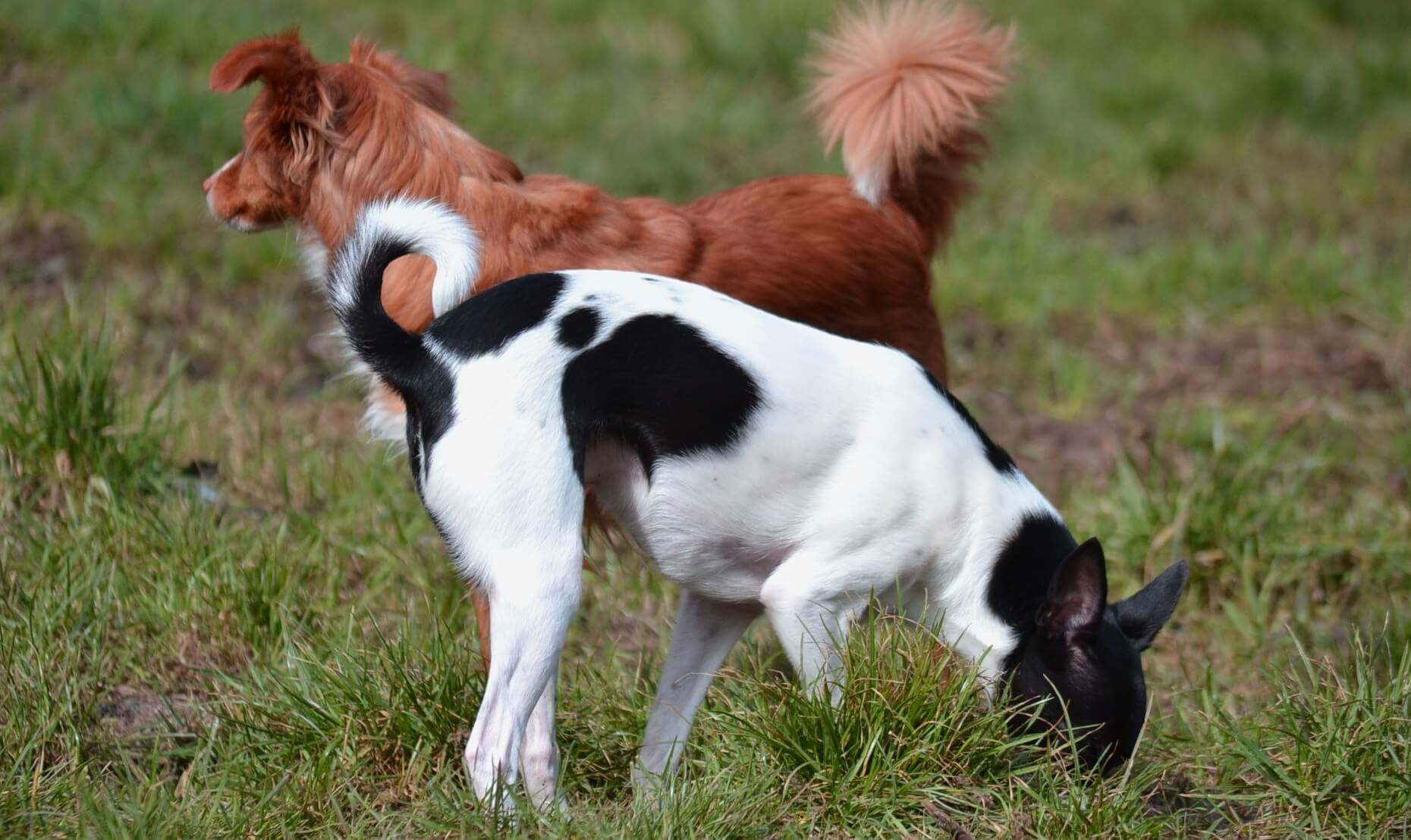 Propolis für Hunde