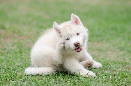 Junghund hat Milben