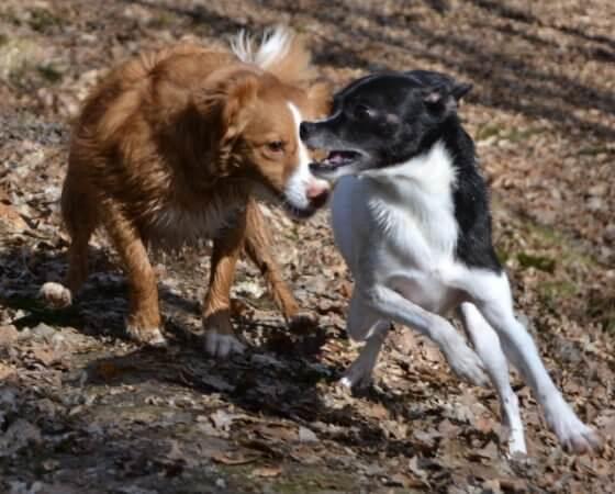 Hund spielt