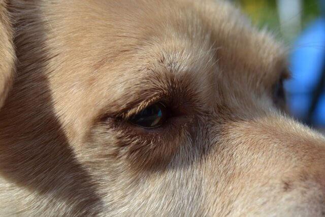 Alter, erfahrener, weiser Hund mit viel Würde.