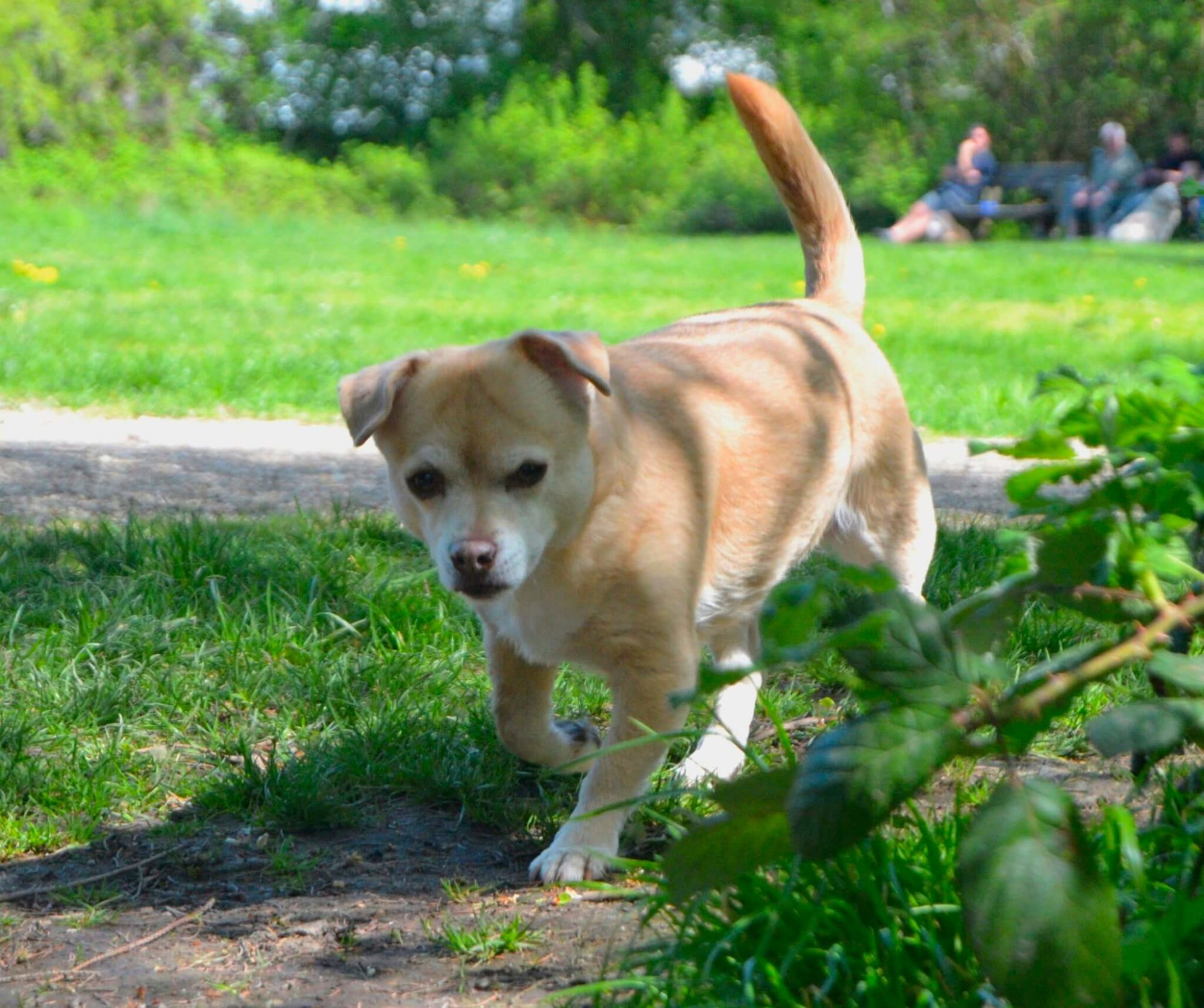 anabolika hund